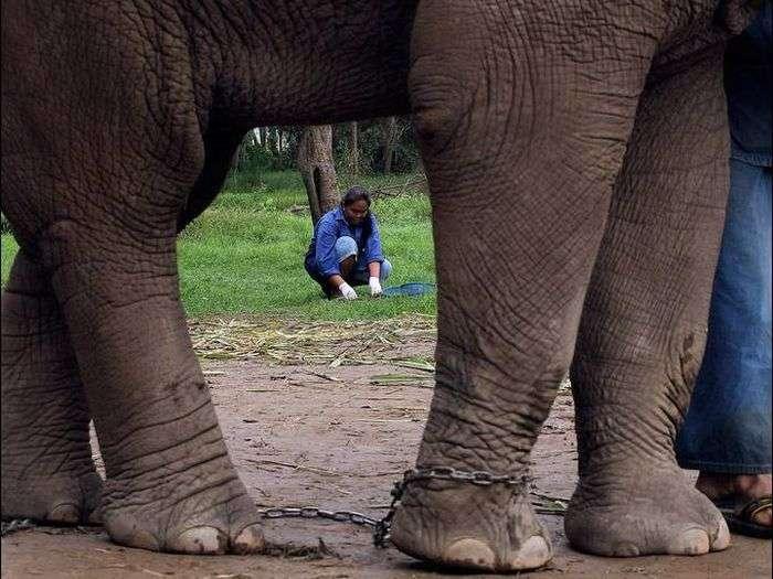Незвичайний кави, який роблять з посліду слонів (9 фото)