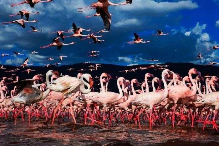 Незвичайне озеро, на якому збираються мільйони фламінго (26 фото)