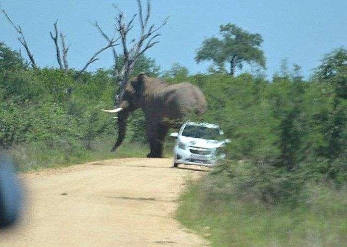Слон, який ненавидить автомобілі (11 фото)