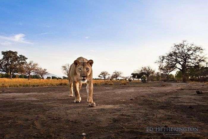 Леви люблять фотографуватися (9 фото)