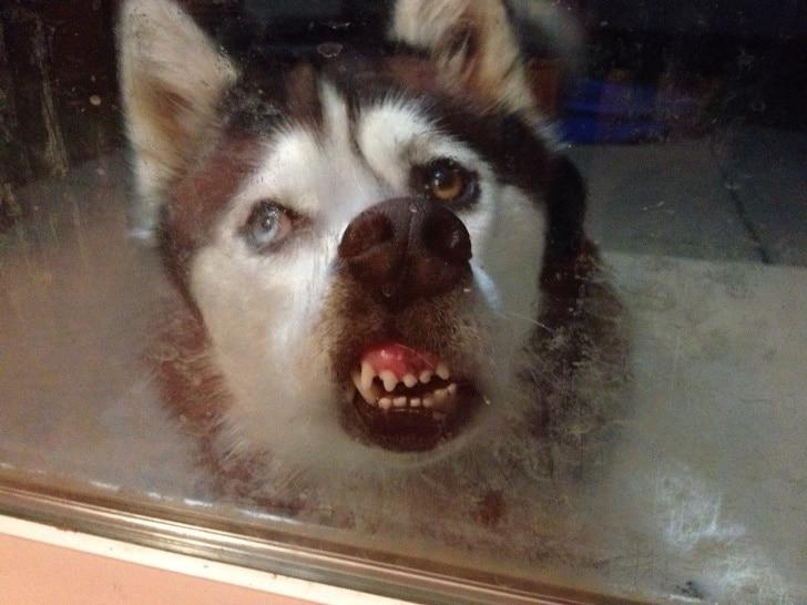 13 забавных животных, которые больше всего на свете любят облизывать стекла! Приколы,животные,приколы,смешные животные,юмор