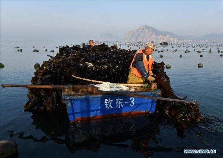 Как собирают урожай водорослей в Китае Интересное