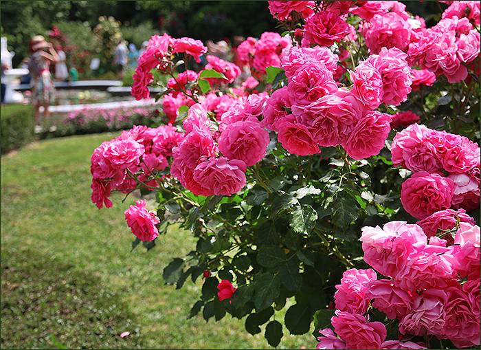 Феерия роз в Никитском Ботаническом Саду июня 2019 экскурсия,Крым