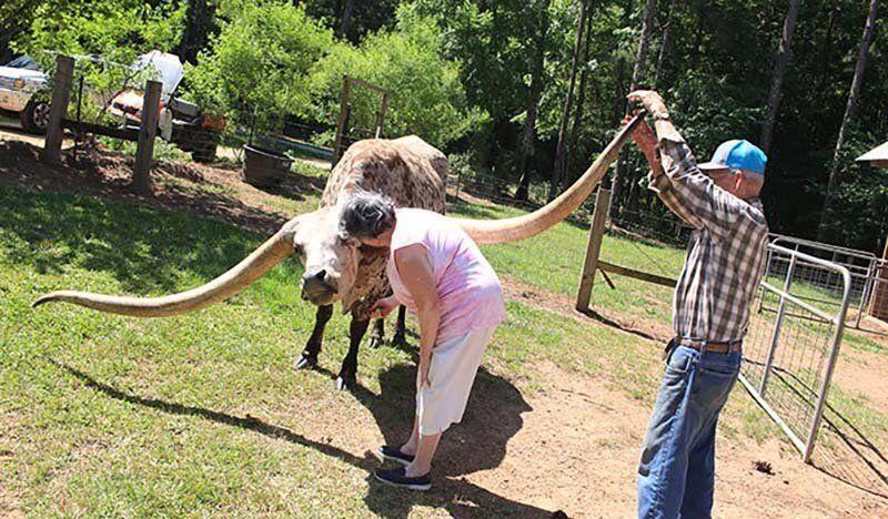 Бык с невероятно длинными рогами установил новый мировой рекорд Гиннесса Мир Животных