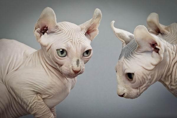 10 самых дорогих кошек Интересное