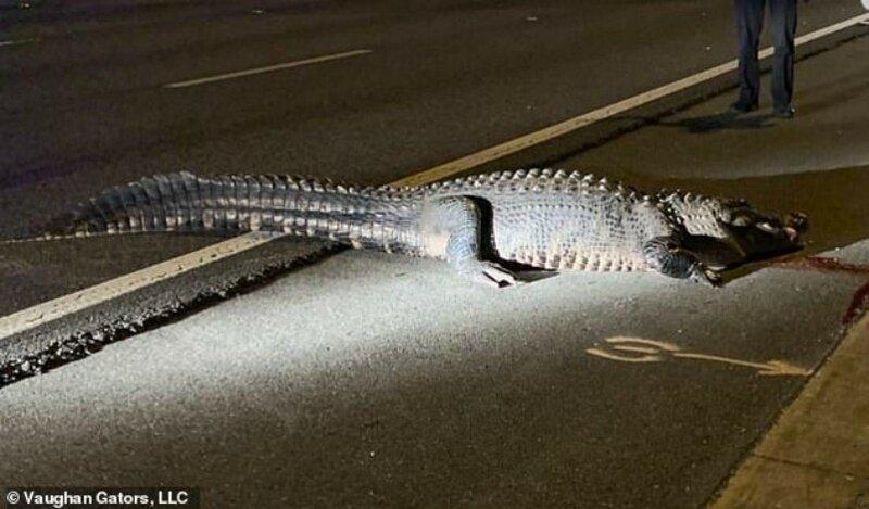 Гигантский аллигатор на трассе стал причиной ДТП Интересное
