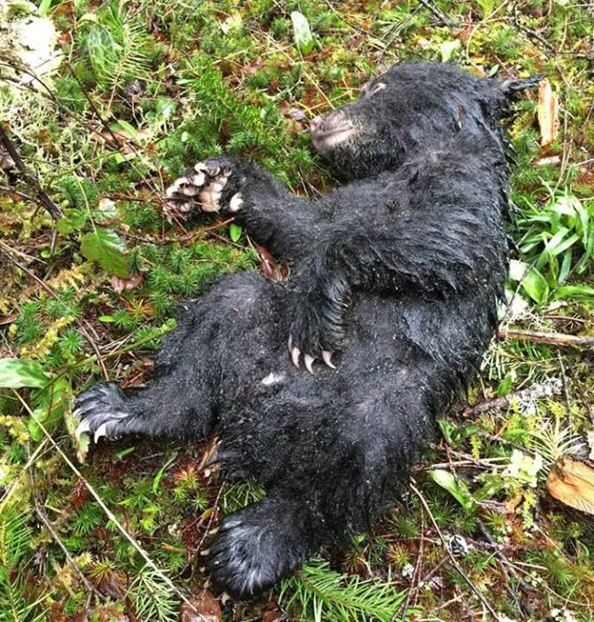 Рискуя не только свободой, но и своей жизнью, парень спасает медвежонка позитив