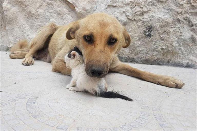 Трогательная дружба котенка — сироты с собакой, потерявшей щенков не всё так грустно