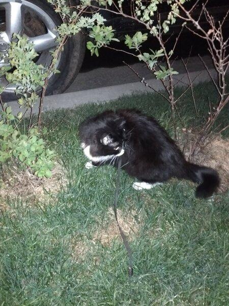 Щенок кота - как мой кот заставил меня гулять с ним и как его перепутали с собакой не всё так грустно