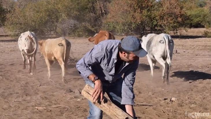 Почему у ботсванских коров глаза на пикантном месте? Ботсвана,коровы,лайфхак,хищники