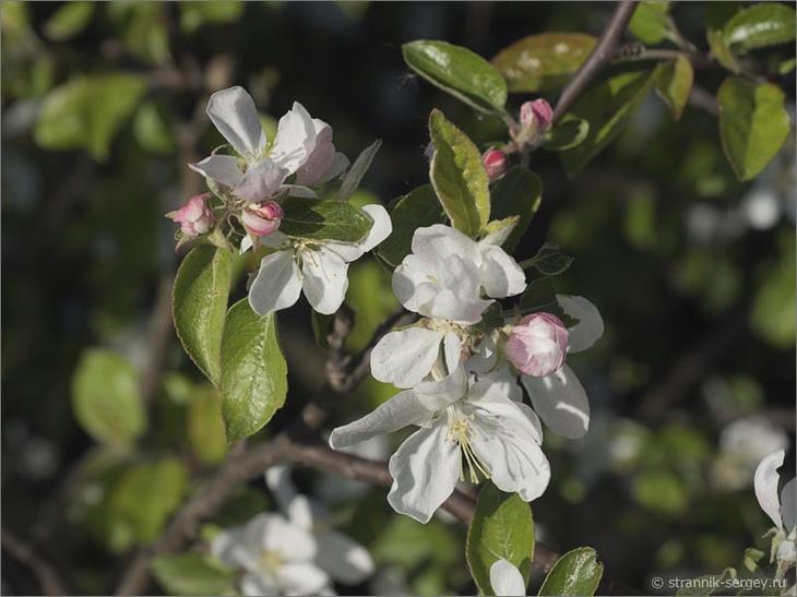 В краю диких яблонь Дикие яблони яблоневые сады яблони цветение яблонь цветущие яблони яблони в цвету весна фото природа пеший поход